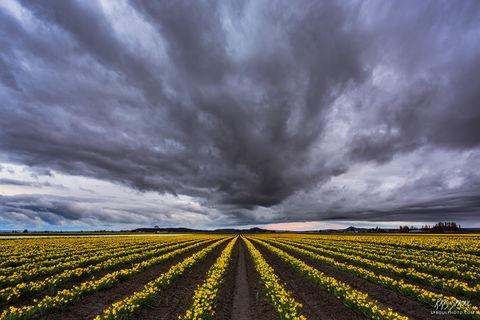 Daffodil Storm