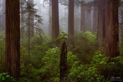 Enchanted Redwoods