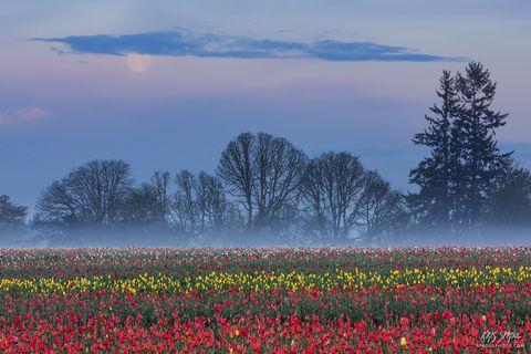 Foggy Tulips at Dawn