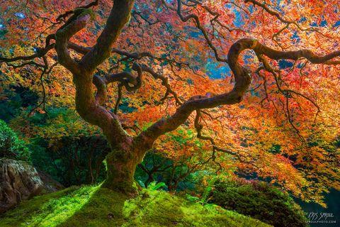 Luminous Maple