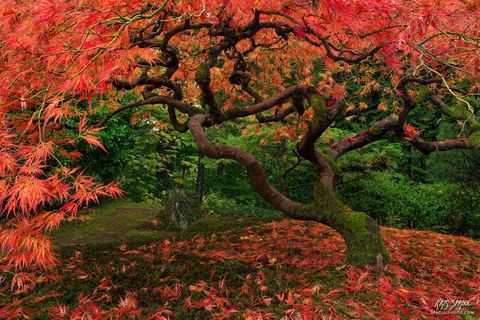 Vermilion Maple